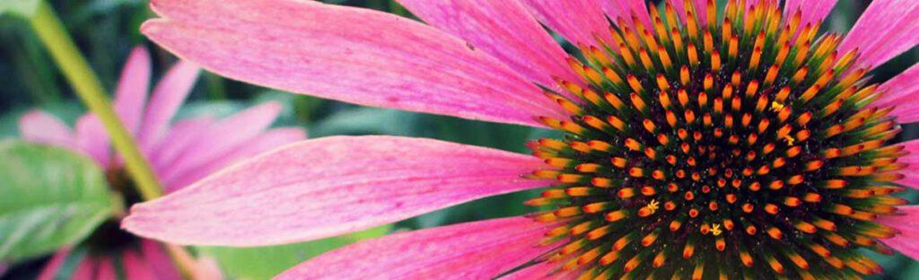 Echinacea klassisch-miasmatische Homöopathie