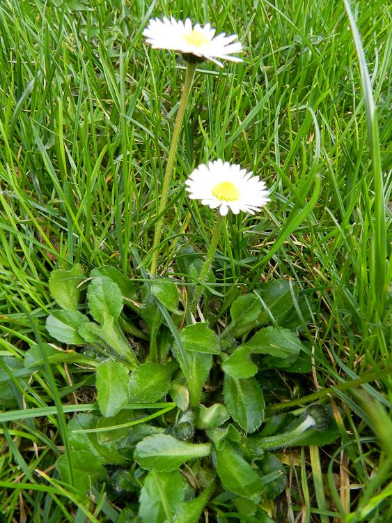 Gänseblümchen Kräutergarten