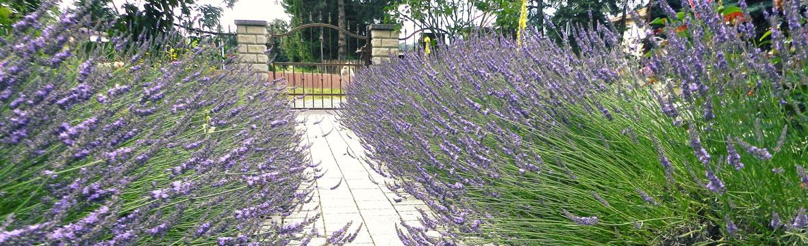 Lavendel Head Homöopathiepraxis