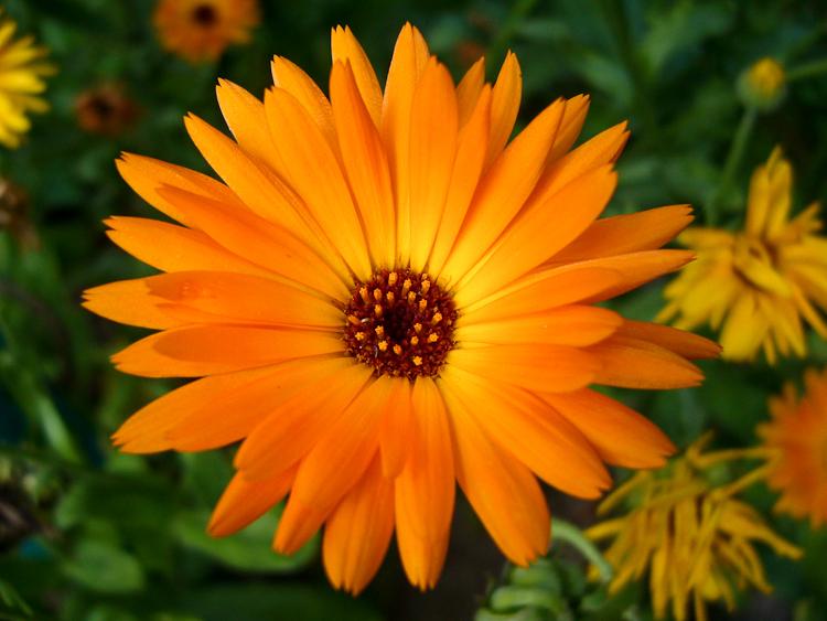Ringelblume Kräutergarten