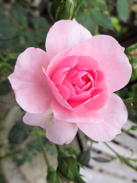 Rose Kräutergarten
