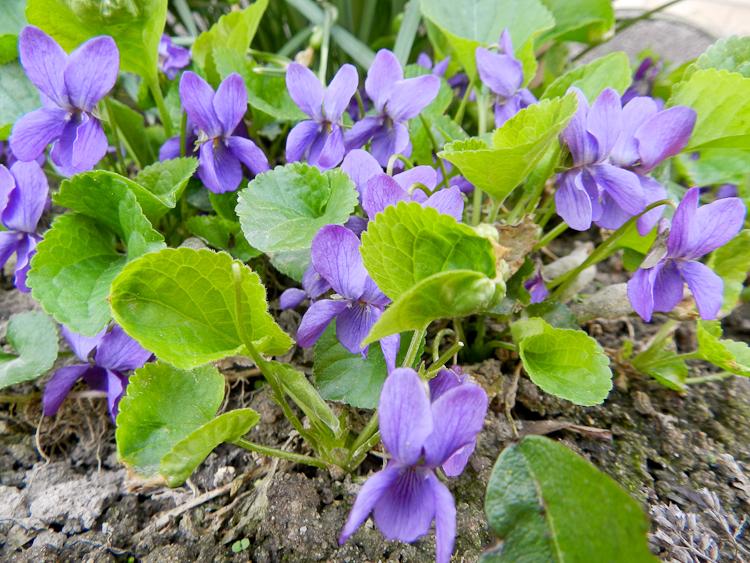 Veilchen Kräutergarten