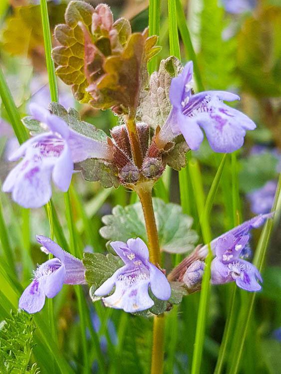 Blüte Gundelrebe